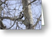 Woodpecker Photos Greeting Cards - Male Downy Woodpecker Greeting Card by John  Greaves