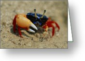Fiddler Crab Greeting Cards - Male Fiddler Crab Greeting Card by Georgette Douwma