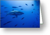 Gill Island Greeting Cards - Male Great White Shark And Bait Fish Greeting Card by Todd Winner