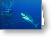 Threat Greeting Cards - Male Great White Shark And Divers Greeting Card by Todd Winner