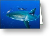 Gill Island Greeting Cards - Male Great White Shark And Pilot Fish Greeting Card by Todd Winner
