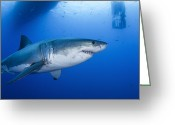 Gill Island Greeting Cards - Male Great White Shark, Guadalupe Greeting Card by Todd Winner