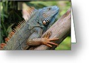 Iguana Greeting Cards - Male Green Iguana Greeting Card by Tom Schwabel