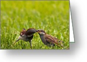 Feeding Greeting Cards - Male House Sparrow Feeding Female Greeting Card by Bill Tiepelman