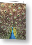 Male Greeting Cards - Male Indian Peacock Greeting Card by Daniela Duncan