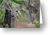 Florida Key Deer Greeting Cards - Male Key Deer Greeting Card by Carol McGunagle