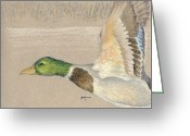 Realistic Pastels Greeting Cards - Male Mallad in Flight Greeting Card by Flo Hayes