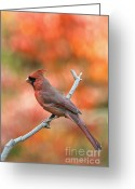 Indiana Autumn Greeting Cards - Male Northern Cardinal - D007810 Greeting Card by Daniel Dempster