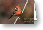 Indiana Autumn Greeting Cards - Male Northern Cardinal - D007813 Greeting Card by Daniel Dempster