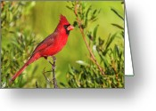 Wild Bird Greeting Cards - Male Northern Cardinal Greeting Card by Andy Morffew