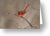 Ontario Mixed Media Greeting Cards - Male Northern Cardinal Greeting Card by Michael Cummings