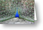 Tail Feather Greeting Cards - Male Peacock Displaying Greeting Card by Victor De Schwanberg