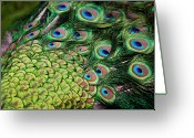 Tail Feather Greeting Cards - Male Peacock (pavo Cristatus) Displaying Tail Feathers Greeting Card by Altrendo Travel