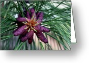 Ponderosa Greeting Cards - Male Ponderosa Pine Cones Greeting Card by Karon Melillo DeVega