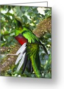 Tail Feathers Greeting Cards - Male Resplendent Quetzal Greeting Card by Heiko Koehrer-Wagner