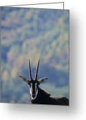 Captive Animals Greeting Cards - Male Sable Antelope Hippotragus Niger Greeting Card by Kenneth Garrett
