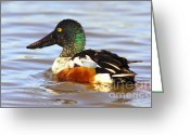 Lowland Greeting Cards - Male Shoveler Greeting Card by Robert Frederick