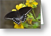 Spicebush Swallowtail Greeting Cards - Male Spicebush Swallowtail Greeting Card by Kathy Gibbons