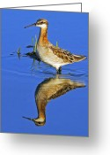 Tricolor Greeting Cards - Male Wilsons Phalarope Greeting Card by Tony Beck