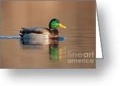 Vertebrate Greeting Cards - Mallard Greeting Card by Clarence Holmes