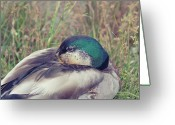Brown Eyes Greeting Cards - Mallard Duck Greeting Card by Allen Donikowski