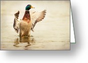 Male Greeting Cards - Mallard Greeting Card by Everet Regal