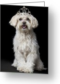 Tiara Greeting Cards - Maltese Poodle Dog Wearing Tiara Greeting Card by GK Hart/Vikki Hart