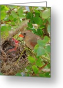 Feeding Greeting Cards - Mama Bird Greeting Card by Robert Harmon