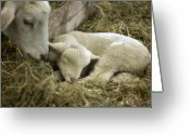 Newborn Greeting Cards - Mamas Lil Lamb Greeting Card by Linda Mishler