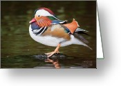 Birdwatcher Greeting Cards - Mandarin duck Aix galericulata Greeting Card by Gabor Pozsgai