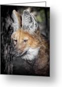 Barry Styles Greeting Cards - Maned Wolf 3866 Greeting Card by Barry Styles