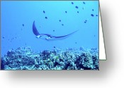 Pacific Islands Greeting Cards - Manta Ray Greeting Card by Dr Peter M Forster