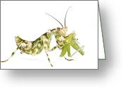 Hymenopodidae Greeting Cards - Mantid Feeding Silaka Nature Reserve Greeting Card by Piotr Naskrecki