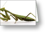 Bug Greeting Cards - Mantis Greeting Card by Jim Speth