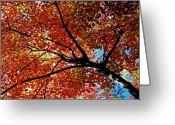 Red Maple Greeting Cards - Maple Tree in Autumn Glow Greeting Card by Juergen Roth