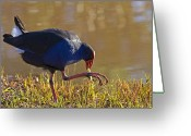 Feed Greeting Cards - March of the Swamphen Greeting Card by Mike  Dawson