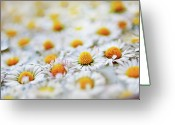 Stamen Greeting Cards - Marguerite Flowers Greeting Card by Uccia_photography