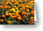 Vibrant Photo Greeting Cards - Marigold Greeting Card by Atiketta Sangasaeng