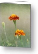 Blossoms Greeting Cards - Marigold Fancy Greeting Card by Kim Hojnacki