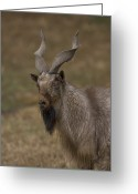 Property Released Photography Greeting Cards - Markhor Capra Falconeri  Heptneri Greeting Card by Joel Sartore