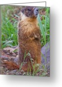 B.c Greeting Cards - Marmot Love Greeting Card by David  Naman