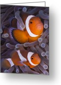 Saltwater Fish Greeting Cards - Maroon Clown Fish (premnas Biaculeatus) Amongst Sea Anemone Tentacles, Dumaguete, Negros Island, Philippines Greeting Card by Oxford Scientific