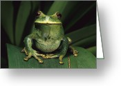 Frog Greeting Cards - Marsupial Frog Gastrotheca Orophylax Greeting Card by Pete Oxford