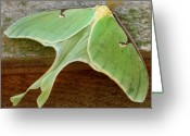 Oldgrowth Greeting Cards - Maryland Luna Moth Greeting Card by Joshua Bales