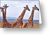 Giraffe Greeting Cards - Masai Giraffe Greeting Card by Adam Romanowicz
