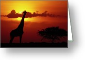 African Giraffes Greeting Cards - Masai Giraffe Giraffa Camelopardalis Greeting Card by Gerry Ellis