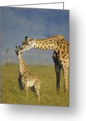 African Giraffes Greeting Cards - Masai Giraffe Mother And Young Kenya Greeting Card by Tim Fitzharris