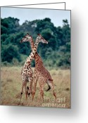 Selection Greeting Cards - Masai Giraffes Necking Greeting Card by Greg Dimijian
