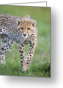 Acinonyx Greeting Cards - Masai Mara Cheetah Cub Greeting Card by Suzi Eszterhas