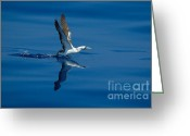 Seabirds Greeting Cards - Masked Booby Greeting Card by Bradford Martin